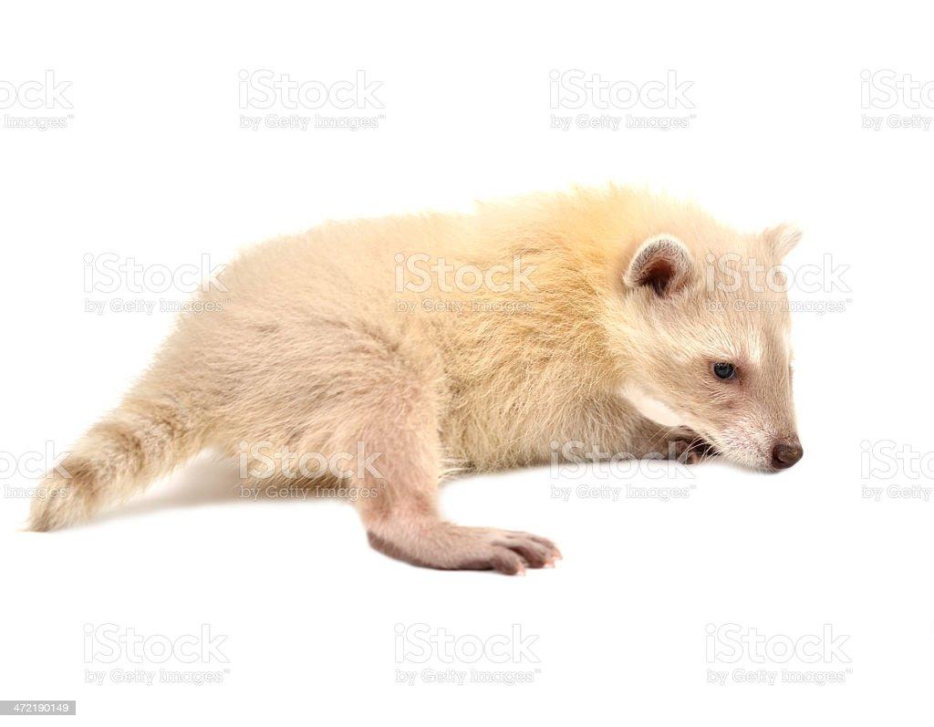 baby albino raccoon isolated stock photo