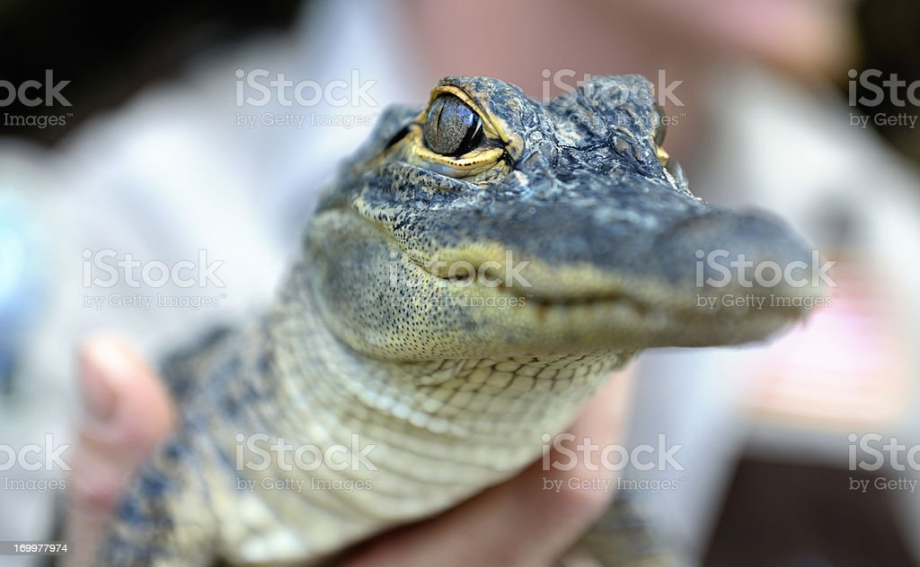 baby alligator held by zoo keeper stock photo