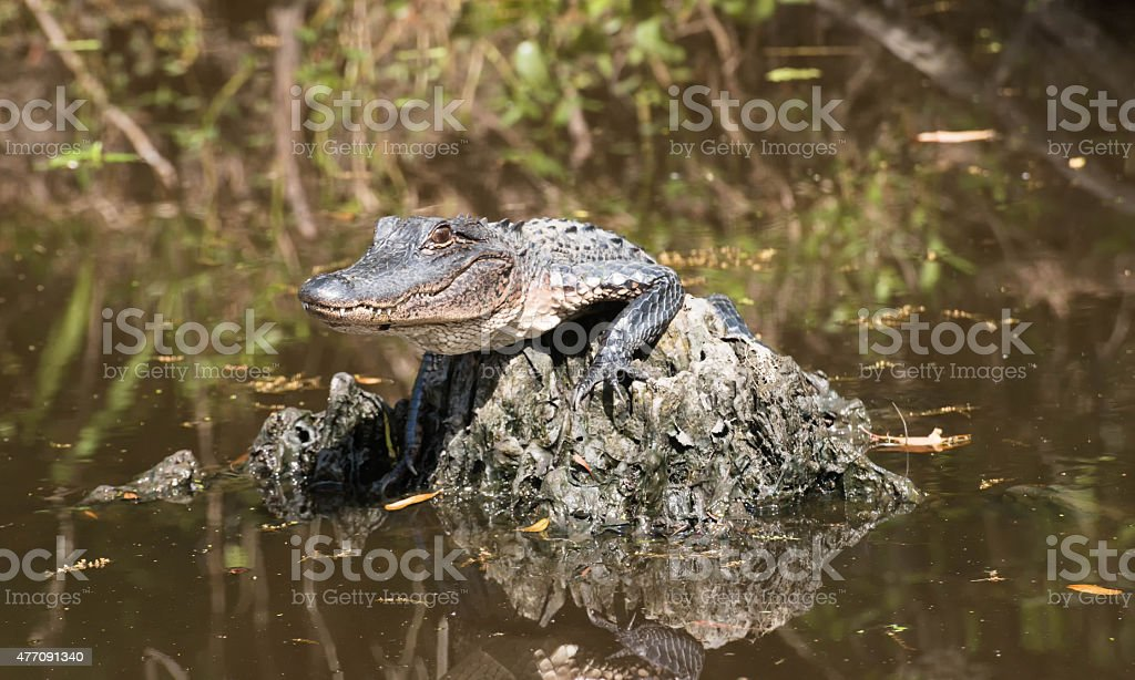 Baby alligator lying in the middle of the swamp stock photo