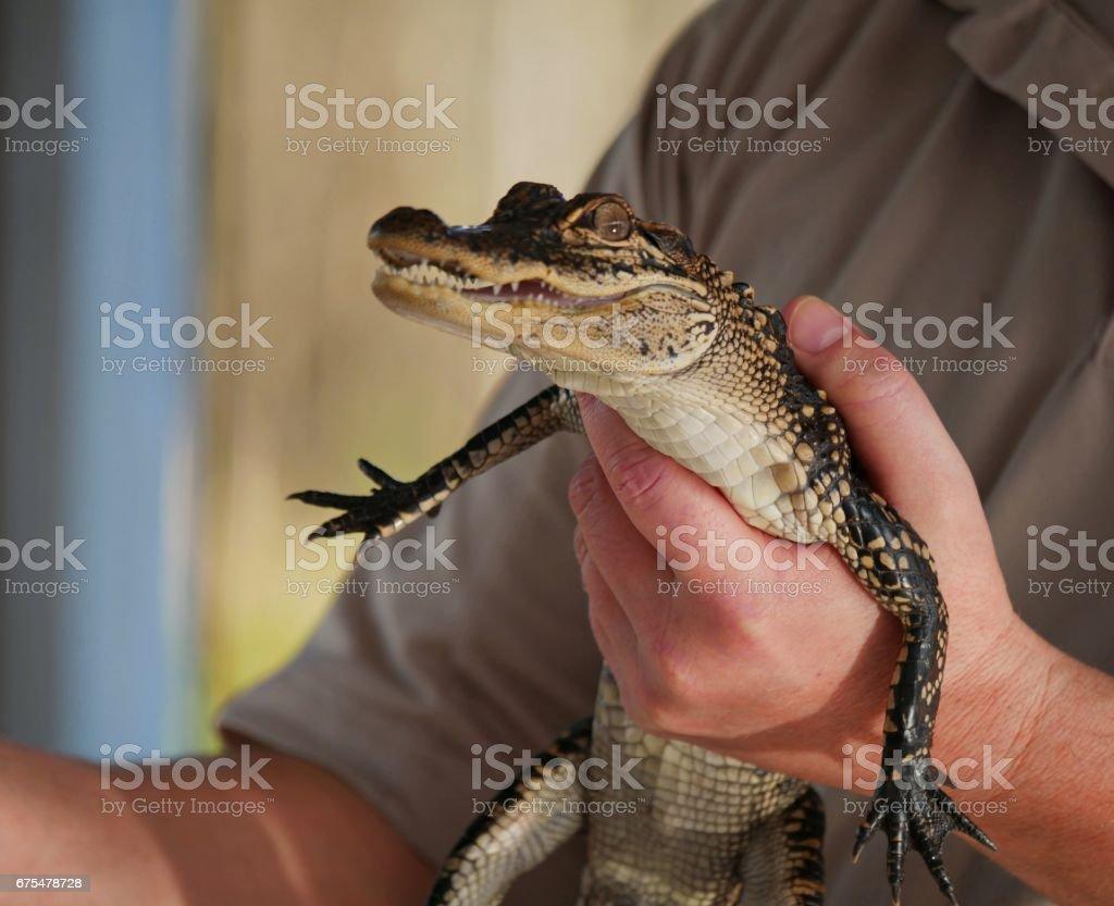 Bébé en alligator  photo libre de droits