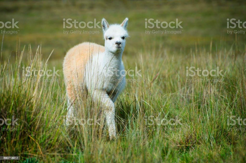 Baby Alpaca (Vicugna pacos) in the Andes, Ecuador stock photo