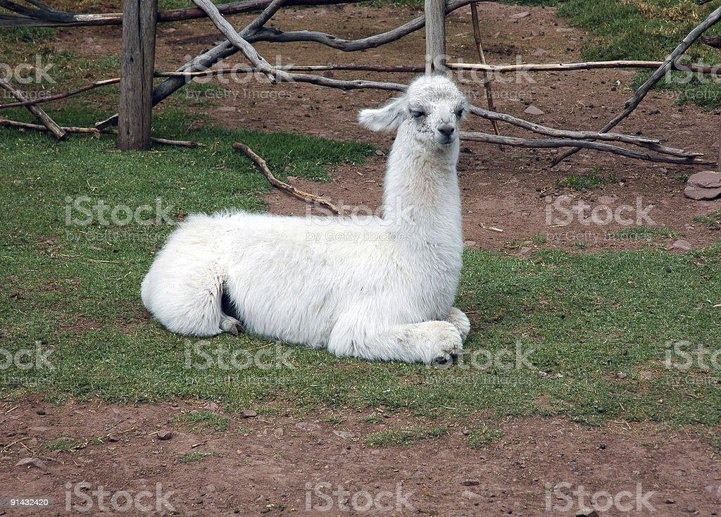 baby alpaca stock photo
