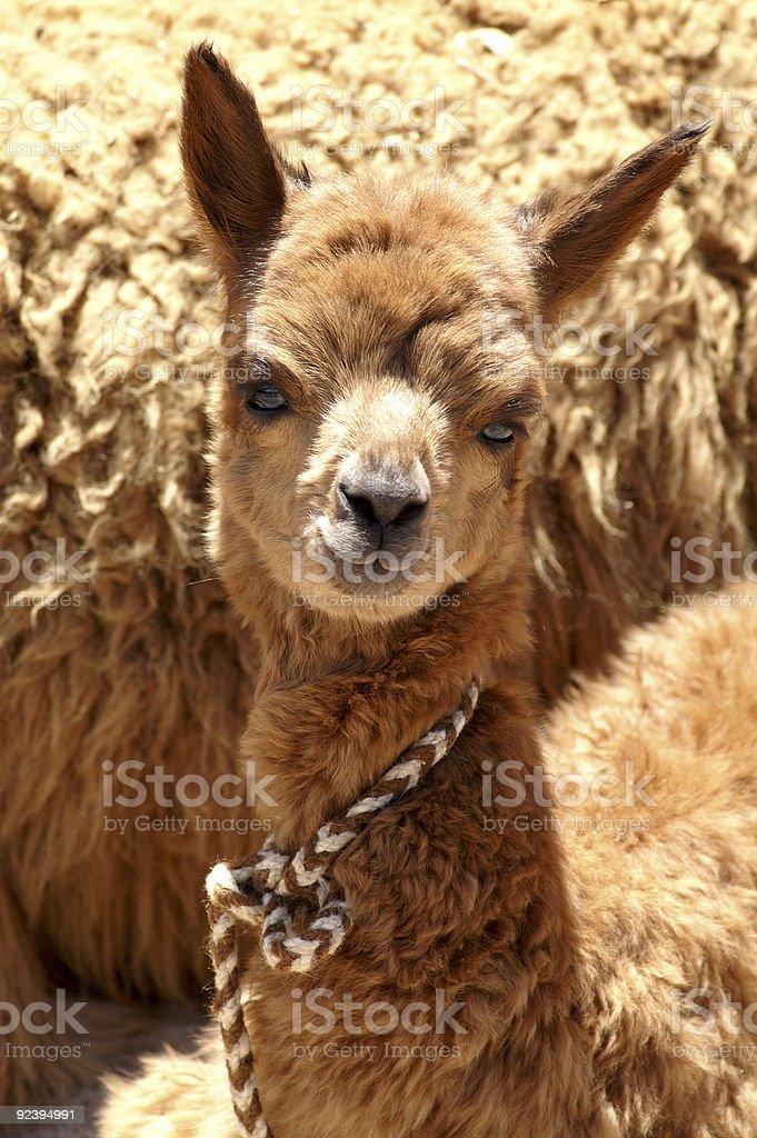 Baby alpaca royalty-free stock photo
