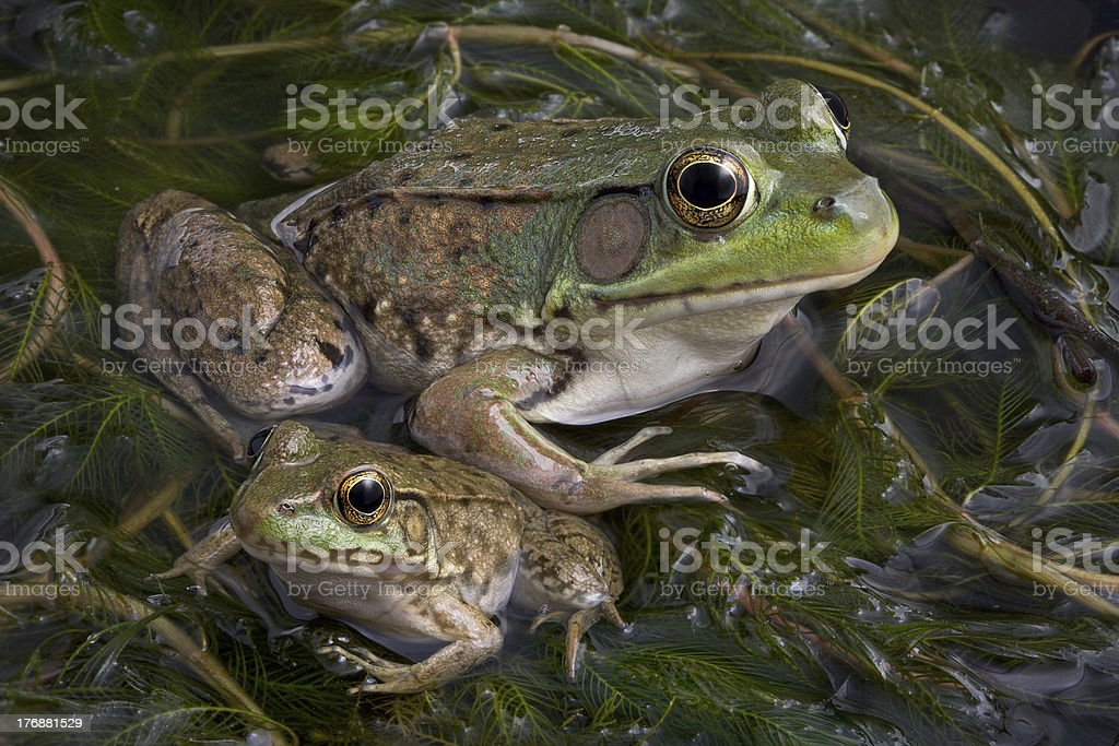 Baby and Adult Bullfrogs royalty-free stock photo
