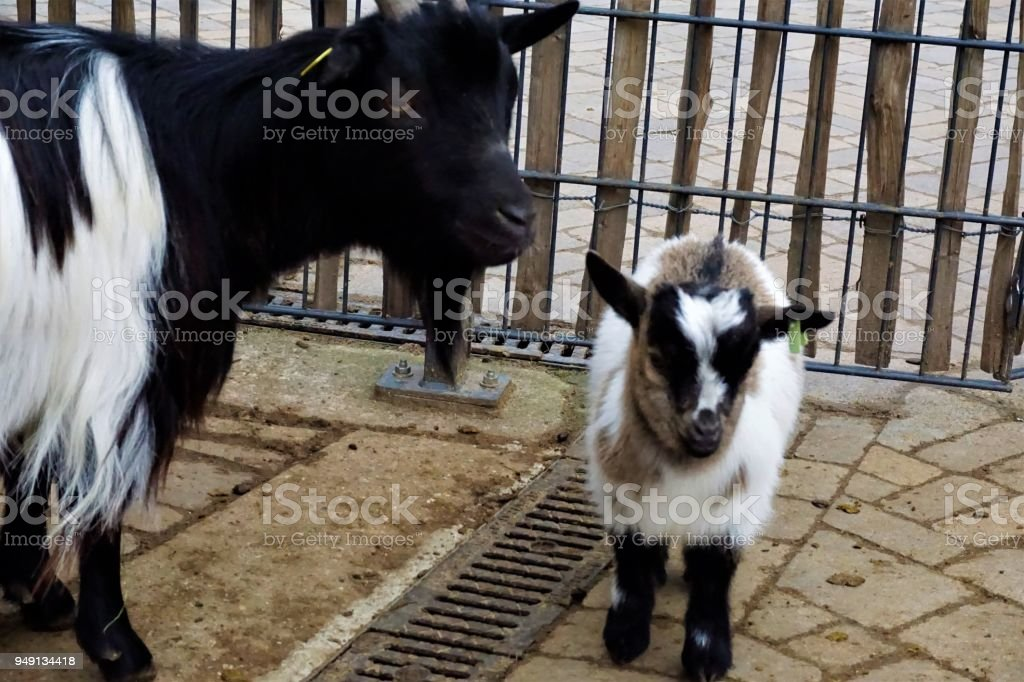 Baby and adult goat in front of fence stock photo