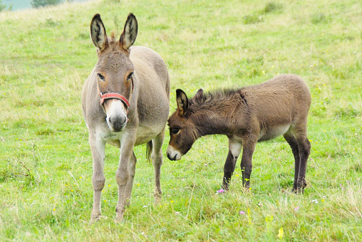 Baby And Mother Donkey On The Pasture