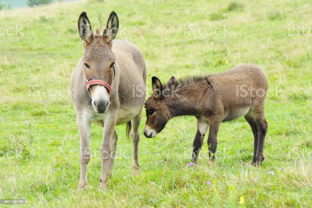 Baby And Mother Donkey On The Pasture - foto stock