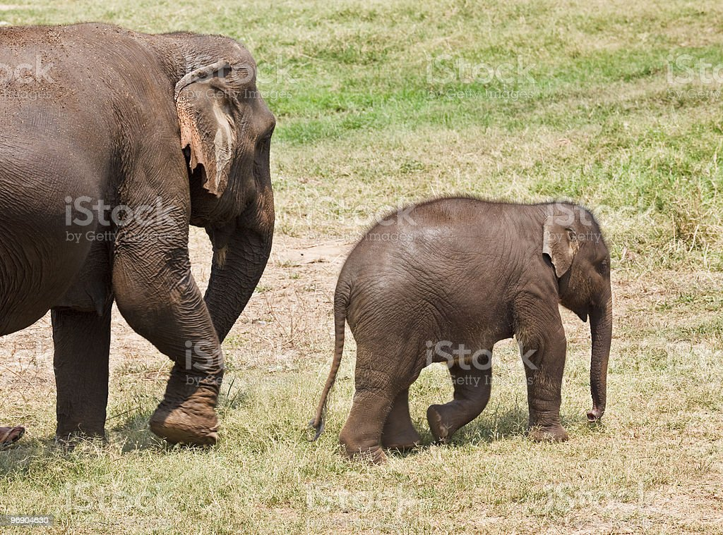 Baby and mother elephant. royalty-free stock photo