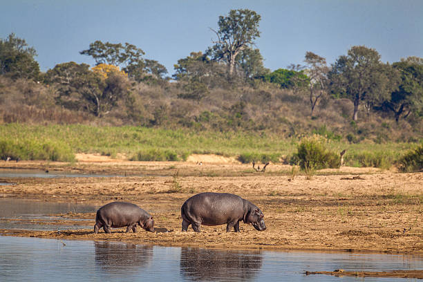 Baby and Mother Hippo stock photo