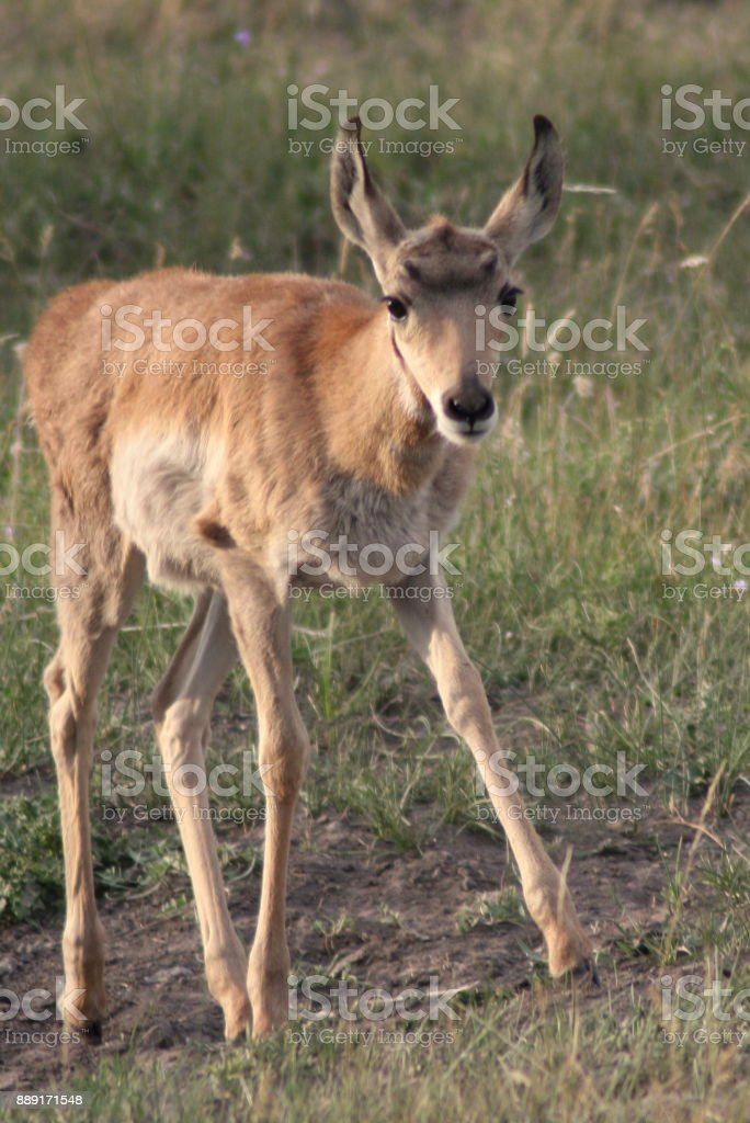 Baby Antelope In Yellowstone National Park Stock Photo