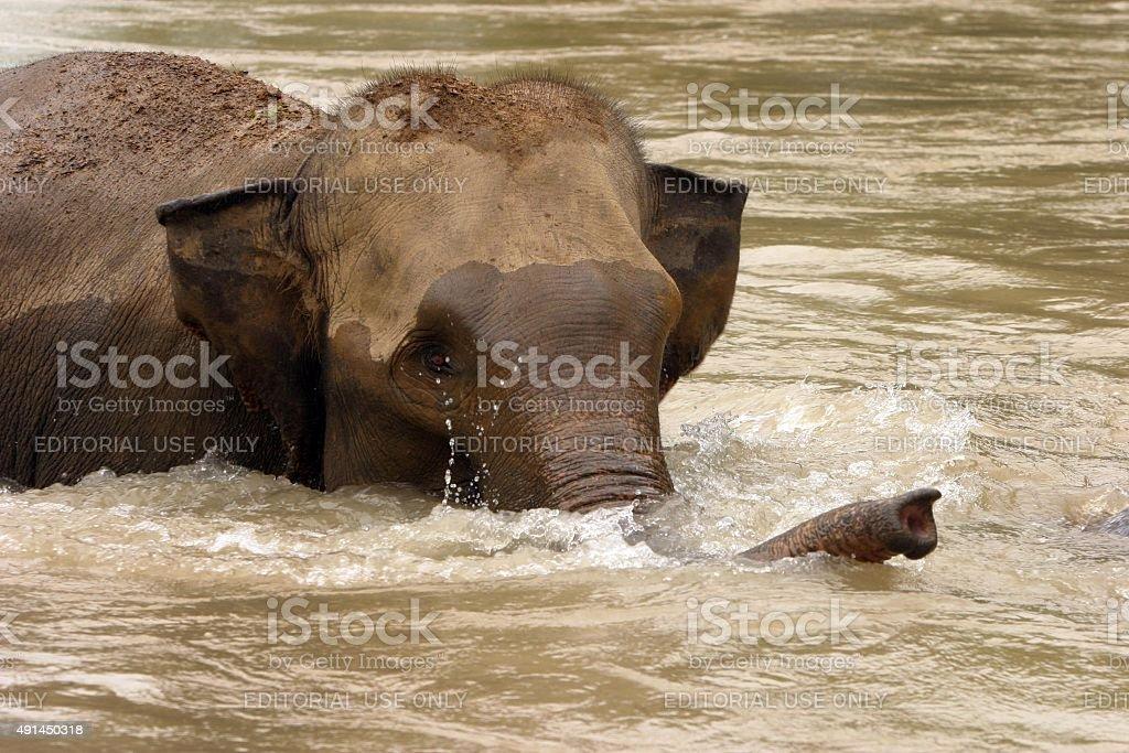 Baby Asian elephant Waschungen und socialises in river – Foto