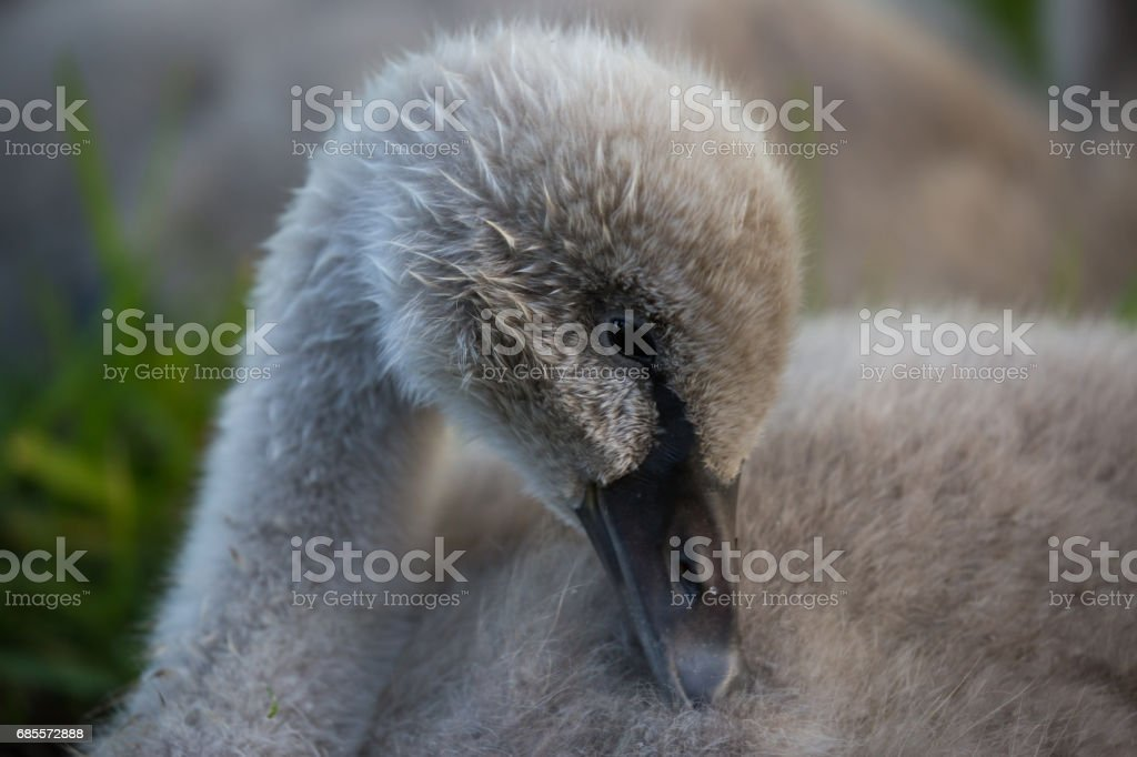 Baby Australian Black Swans frolick and play by the lake on the grass stock photo