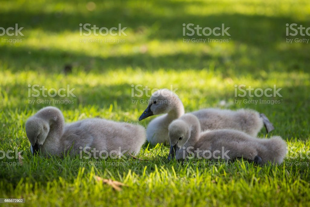 Baby Australian Black Swans frolick and play by the lake on the grass foto de stock royalty-free