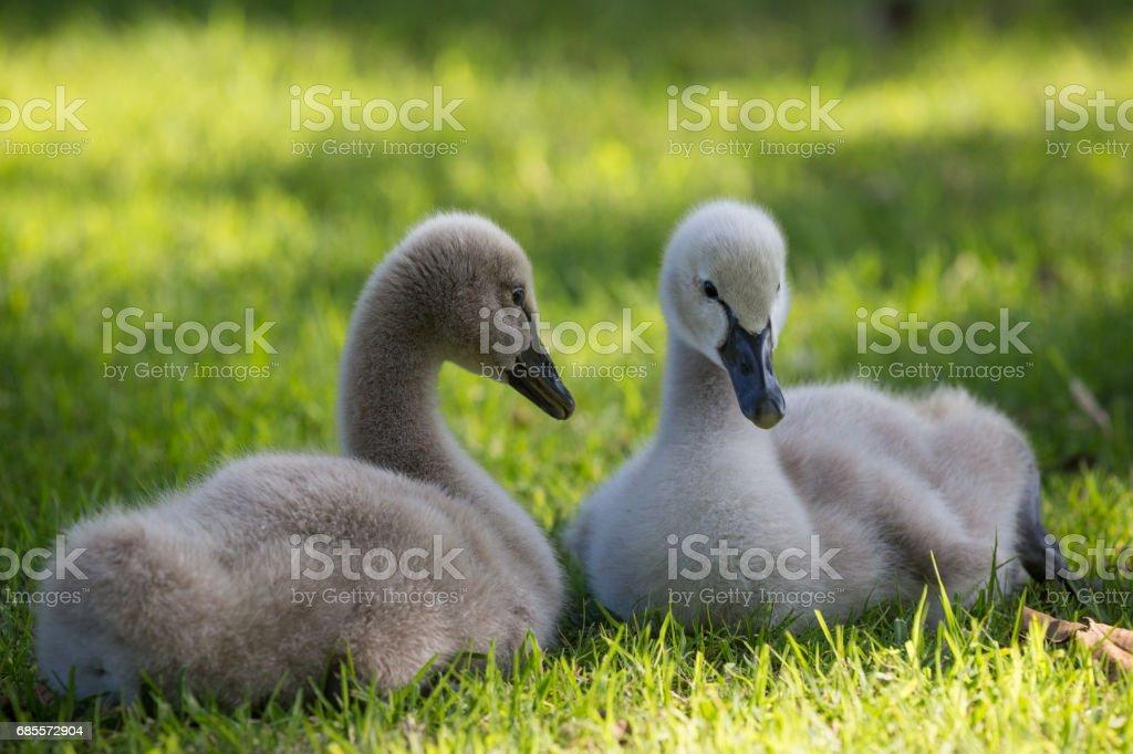 寶貝,澳大利亞黑天鵝嬉戲和玩在湖邊,在草地上 免版稅 stock photo