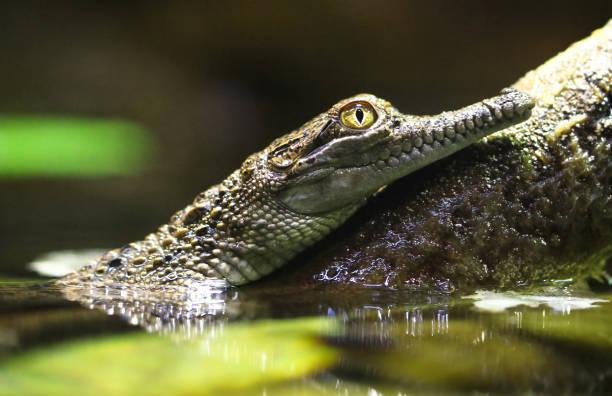 Bébé australien Crocodile d'eau douce - Photo