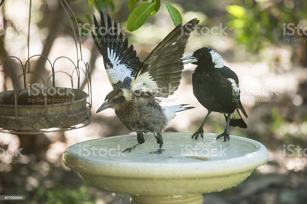 Baby Australian Magpie in Bird Bath stock photo