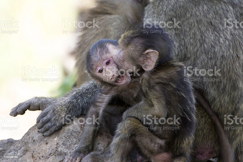Baby Baboons Kissing royalty-free stock photo