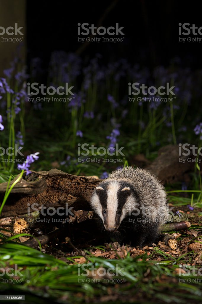 Baby badger cub in bluebells - Meles meles stock photo