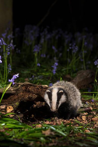 Baby badger cub in bluebells - Meles meles