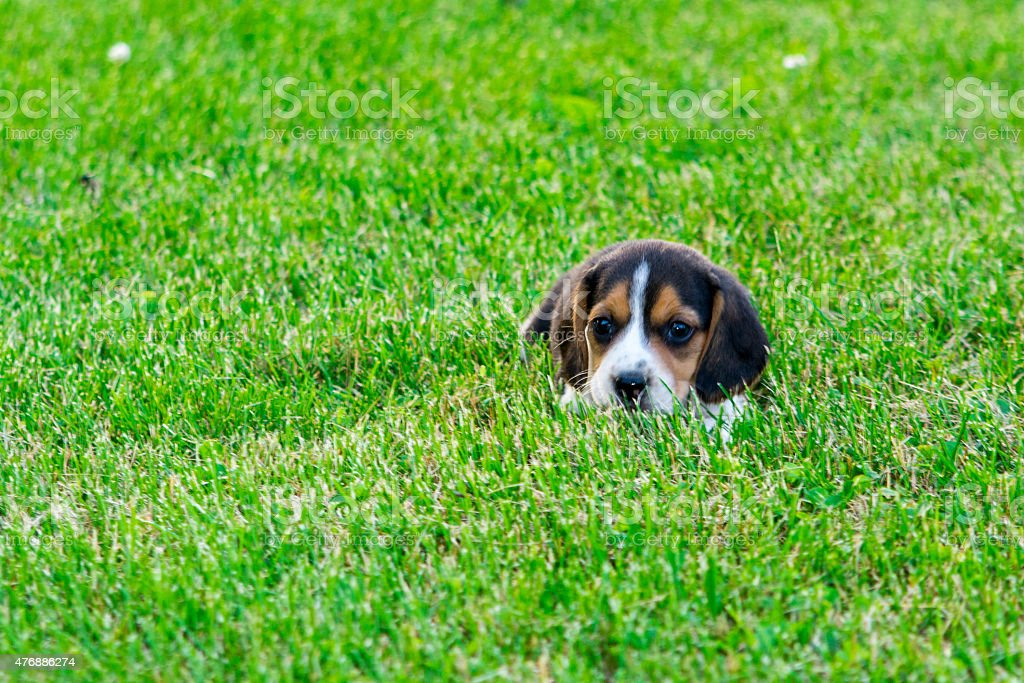 Baby bagle lays in the green grass stock photo
