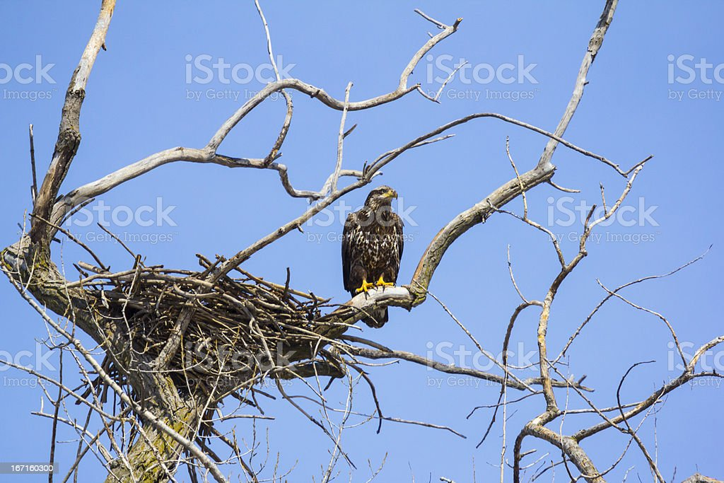 Baby Bald Eagle Ventures Out Of Nest Onto Branch royalty-free stock photo