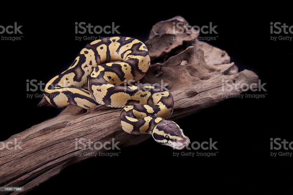 Baby Ball or Royal Python, Firefly morph stock photo