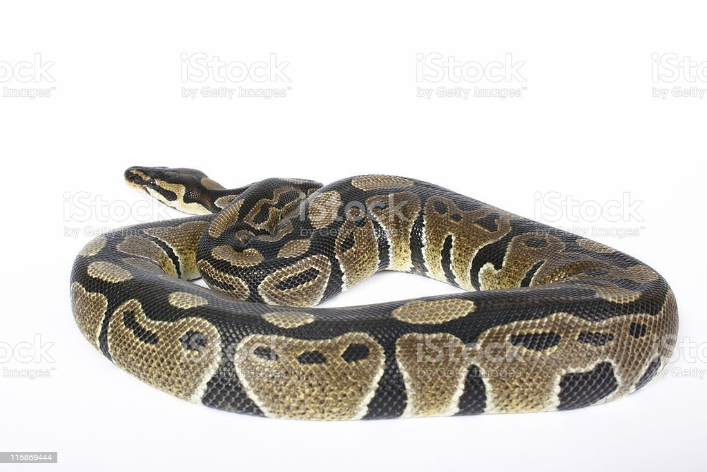 Baby Ball Python royalty-free stock photo