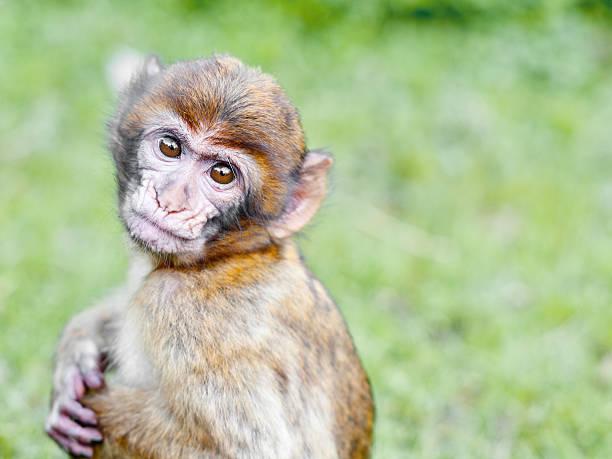 bébé singe magot ou grand singe. - singe magot photos et images de collection
