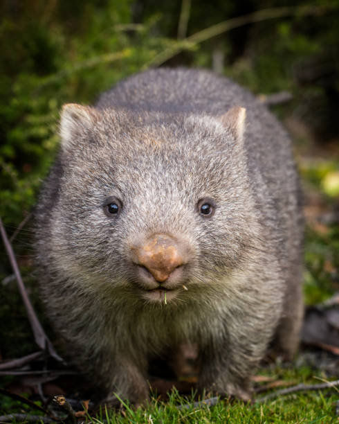 baby bare nosed wombat - wombat stock photos and pictures