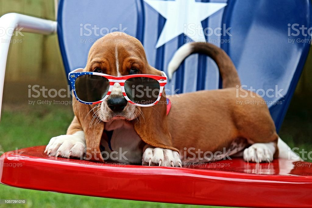 Baby Basset with Sunglasses. Fourth of July. Basset hound puppy on the Fourth of July American Culture Stock Photo