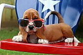 Basset hound puppy on the Fourth of July