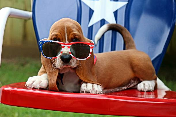 Baby Basset with Sunglasses. Fourth of July. stock photo