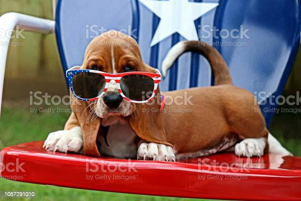 Baby Basset With Sunglasses Fourth Of July Stock Photo - Download Image Now