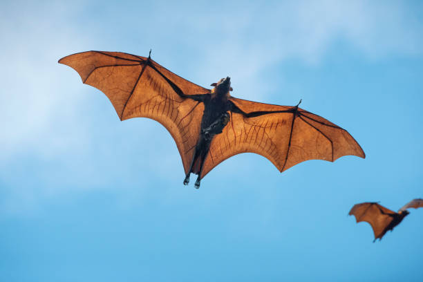 Baby bat and mother are flying stock photo