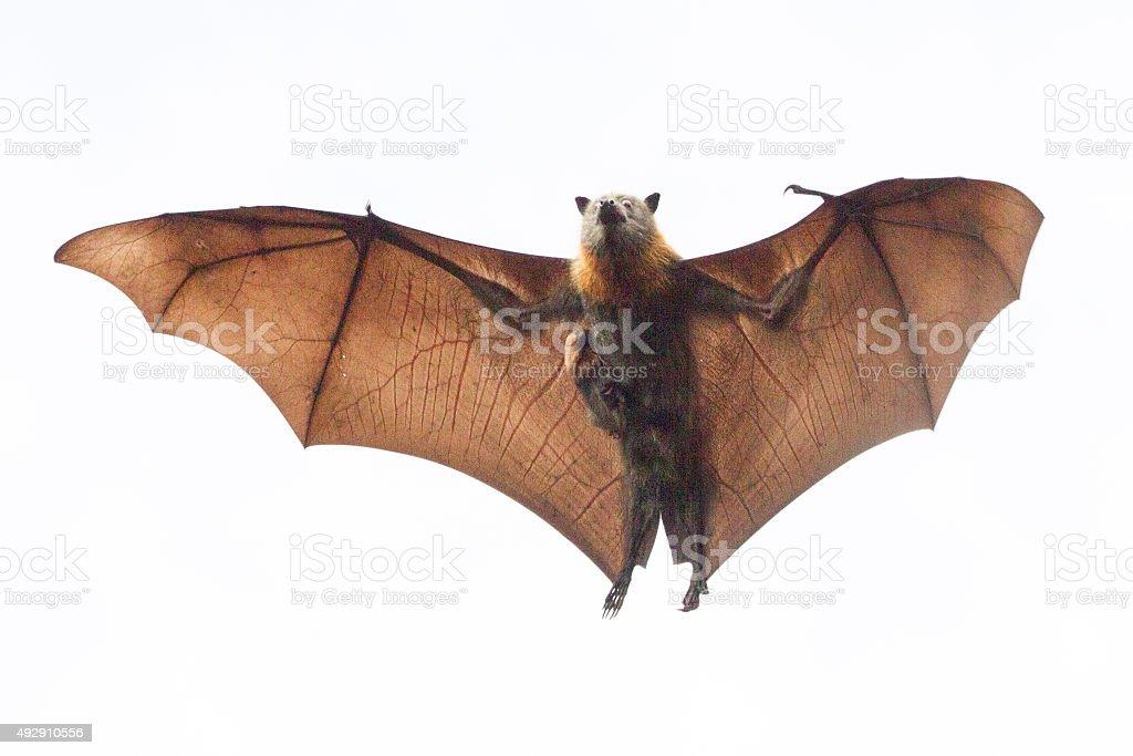 Baby Bat Clinging to Mum's Chest stock photo