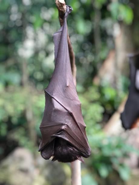 Baby bat resting stock photo