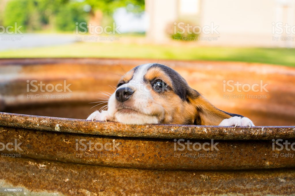 Baby beagle peers over a ledge stock photo