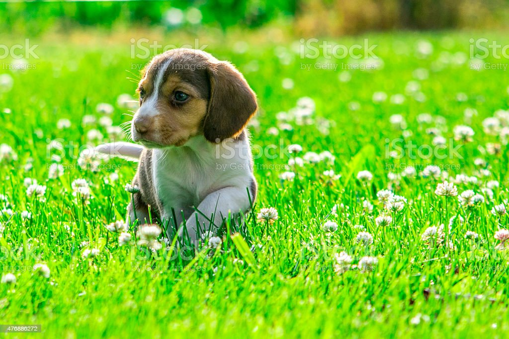 Baby beagle searches the yard stock photo