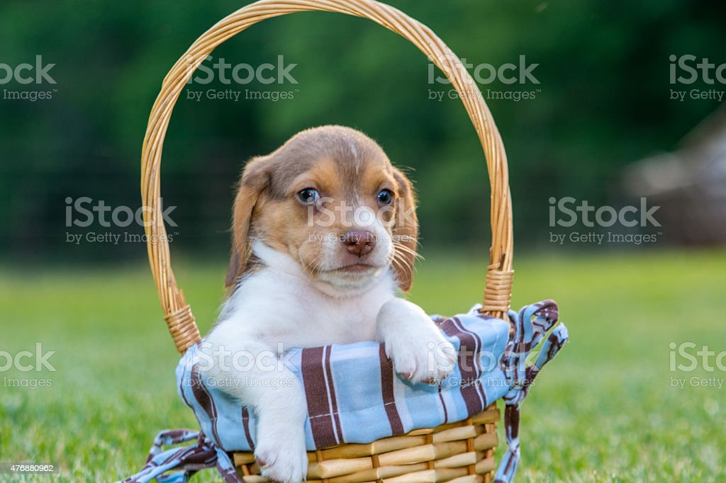 Baby beagle shows' it's cuteness in a basket stock photo