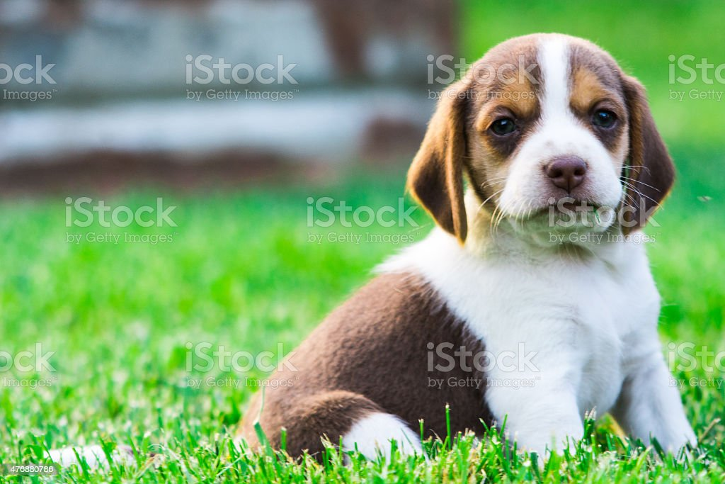 Baby beagle sits calmy in the grass. stock photo