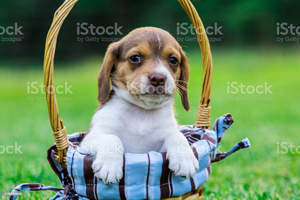 Baby beagle sits in a basket. stock photo