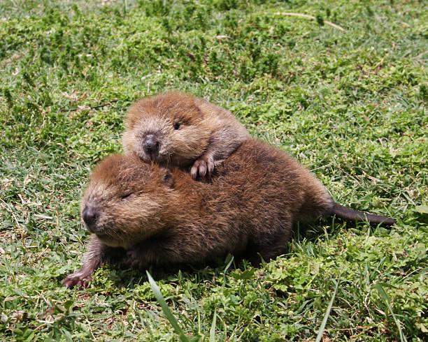 Bébé blocs Beaver - Photo