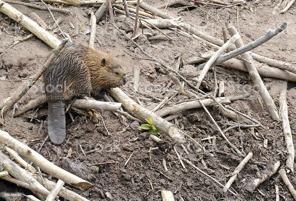 Baby beaver on lodge in pond stock photo
