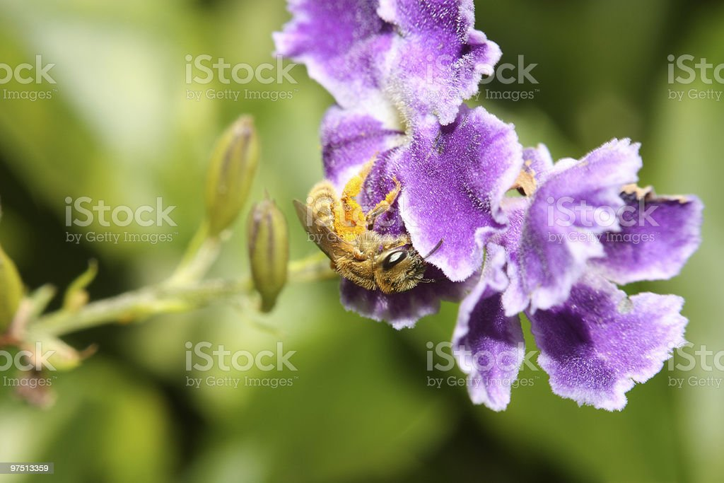 Baby bee pollination royalty-free stock photo