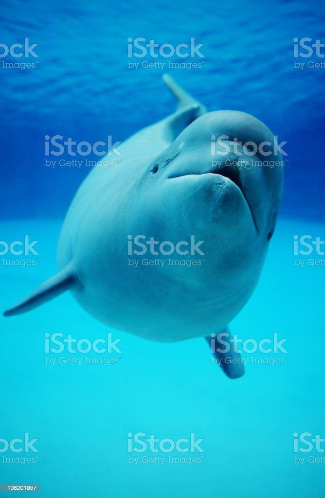 Baby Beluga Whale Swimming in Aquarium stock photo