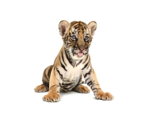 Baby bengal tiger picture id465651811?b=1&k=6&m=465651811&s=612x612&w=0&h=apaxzslzljepkipvka ub o zeeczo9jsyxqitlx3x0=