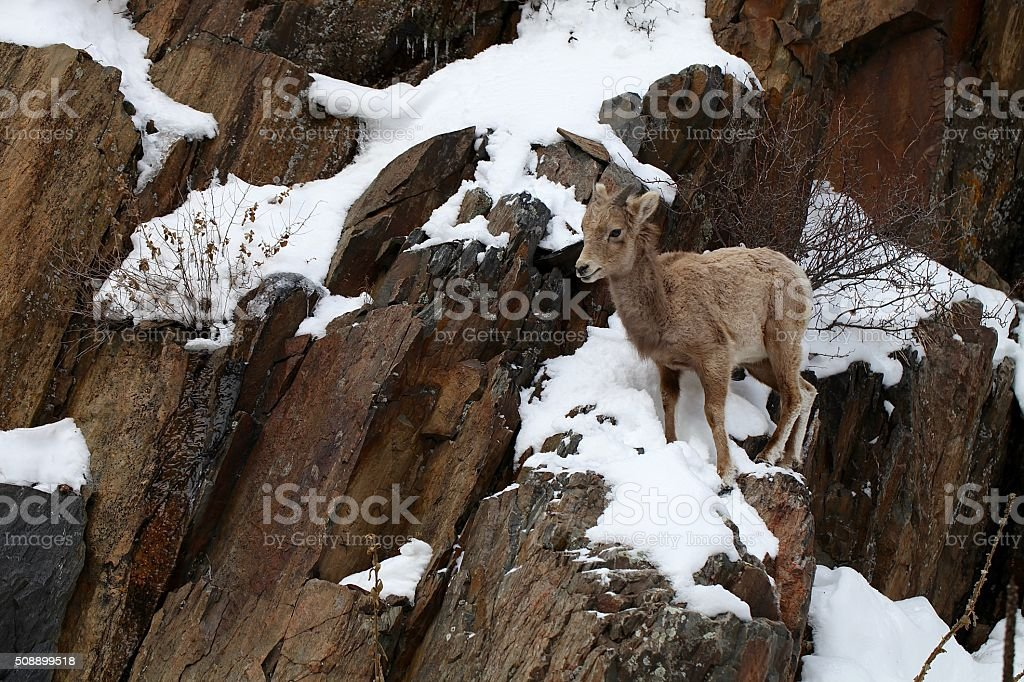 Baby Big Horn Sheep on cliff stock photo