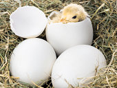 Baby chick hatching in nest
