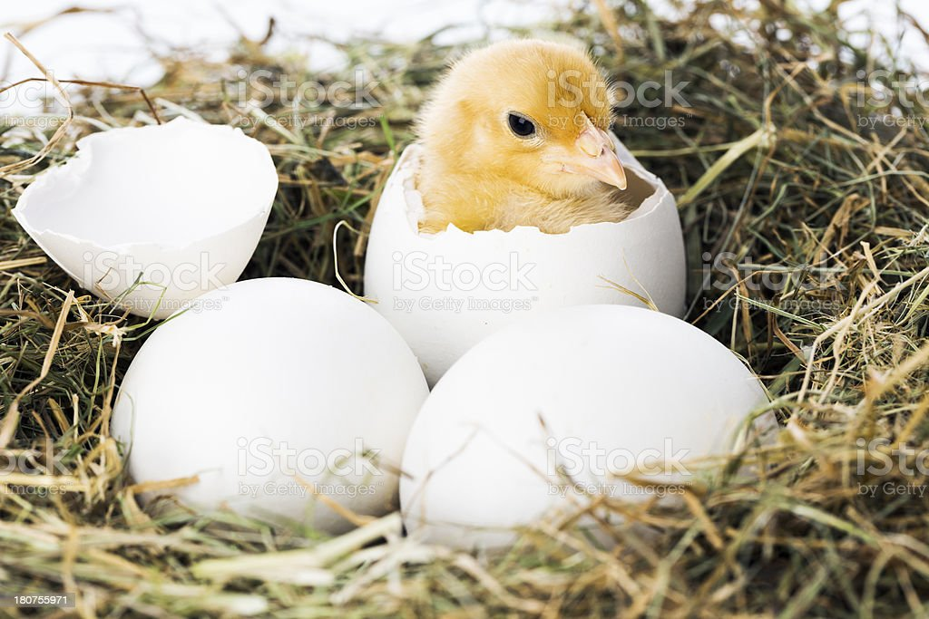 Baby bird hatching from egg stock photo