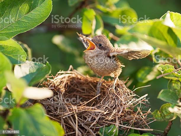 Baby bird in the nest picture id512801930?b=1&k=6&m=512801930&s=612x612&h=snsa70 vtl6xnl1naoxy72a0liff087fknvoiu9mez0=